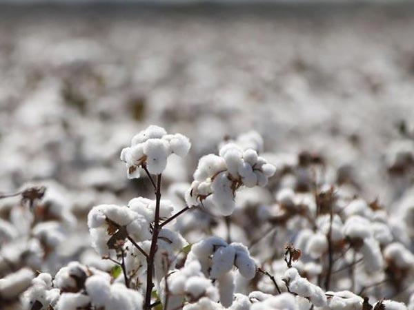 Les bienfaits du coton